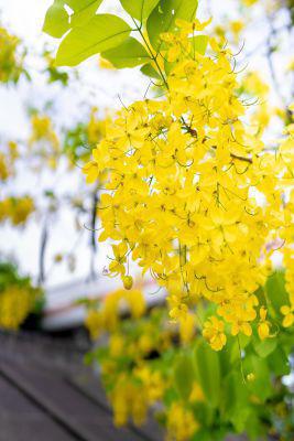 Picture of Oil - Cassia