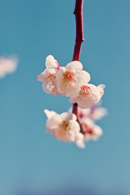 Picture of Oil - Cherry Blossom