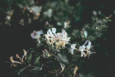 Picture of Oil - Honeysuckle