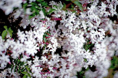 Picture of Oil - Jasmin