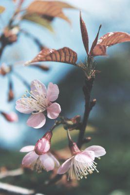 Picture of Oil - Magnolia