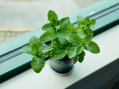 Picture of Oil - Mint
