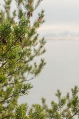 Picture of Oil - Nordic Pine