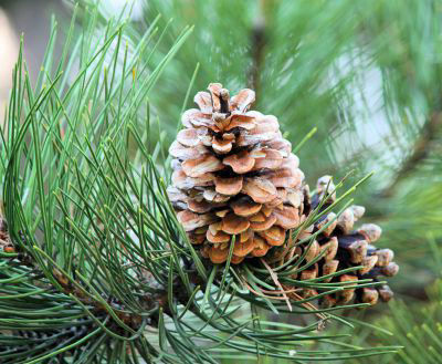 Picture of Oil - Pine
