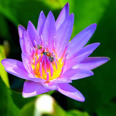 Picture of Oil - Waterlilly
